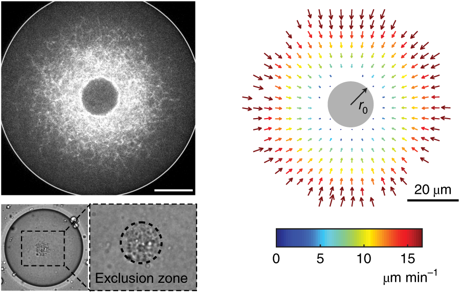 Velocity field measurement of a contracting actin network